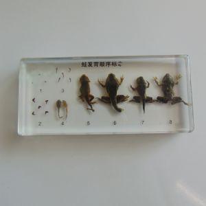 蛙发育顺序betway体育iso系统